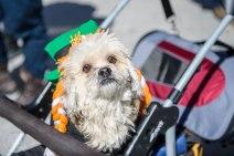 SPCA-St-Patrick-parade-6576